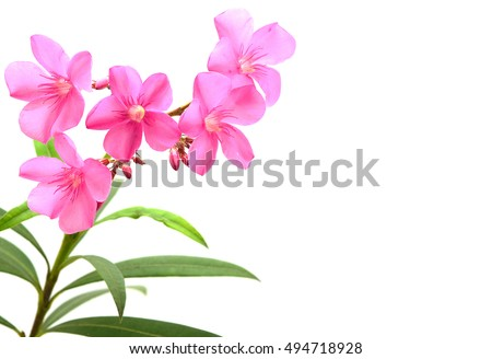 Pink oleander flower leaves isolated on stock photo edit now pink oleander flower and leaves isolated on white background mightylinksfo