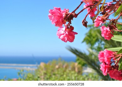 Pink oleander flowers, can serve as a summer background.