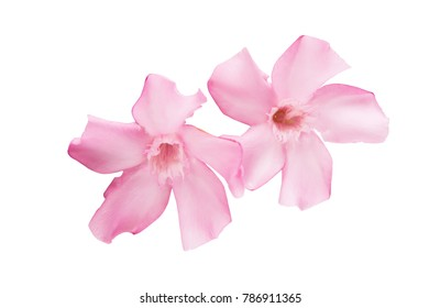 pink oleander flowers isolated on white background