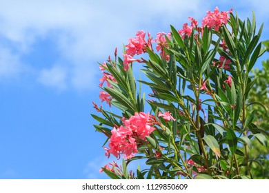 Pink Oleander flowers on a blue sky background