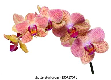 pink and orange orchid flower branch isolated on white background