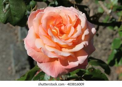 Pink orange rose blooms