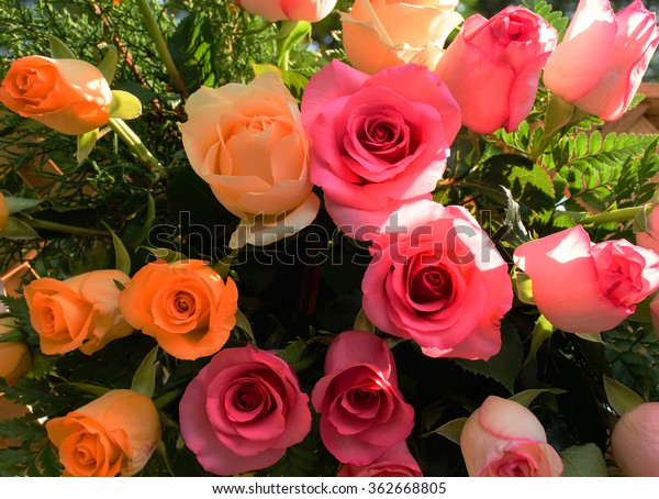 Pink and orange roses.Background image of roses .