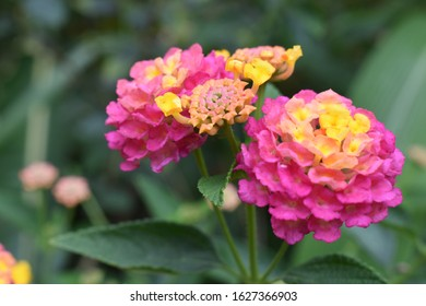 Pink and orange verbena flowers with green leaves background - Shutterstock ID 1627366903