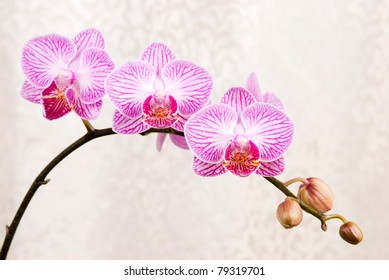Pink orchid, blossoming phalaenopsis flower(phalaenopsis spp.) with silver cloth background