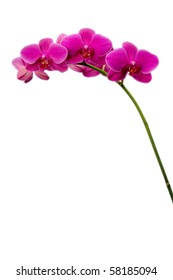 Pink Orchid blossoms isolated against a pure white background, plenty of room for text or graphics