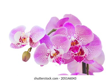 pink  orchid branch close up  isolated on white background