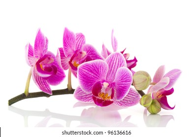 Pink Orchid branch with flowers and buds on white background