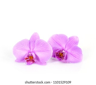 pink orchid for exotic perfume