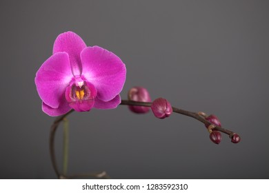 Pink orchid flower on gray background