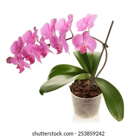 Pink Orchid flower on pot isolated
