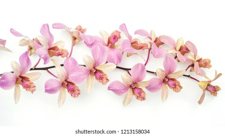 The pink orchid flower on a white background.