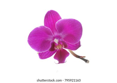 Pink orchid flower on a white background. Orchid flower isolated.