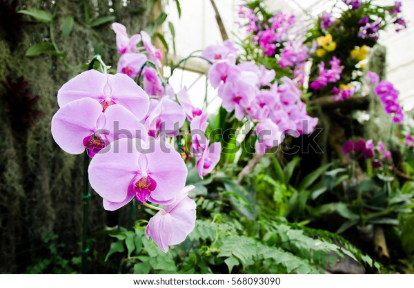 Pink orchid flower (Phalaenopsis) in a garden