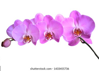 pink orchid flowers close up on white background