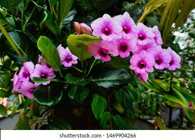 Pink orchid flowers. Epiphytic Dendrobium plant growing on a jackfruit tree trunk in a garden.