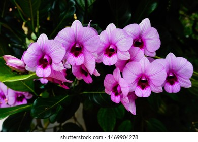 Pink orchid flowers. Epiphytic Dendrobium plant growing on a jackfruit tree trunk.