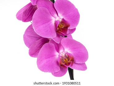 Pink orchid flowers at green branch with blossom and leaf buds photo at smooth white background.