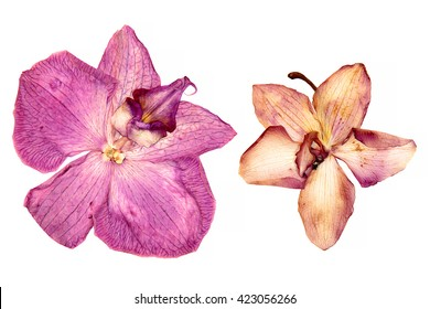 pink orchid, oil draw perspective, paint dry delicate flowers and petals, pressed isolated on white background scrapbook art flower arrangement