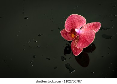 pink Orchid on black background with water drops