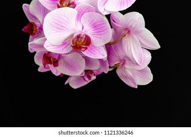 Pink Orchid on a black background with space for text.