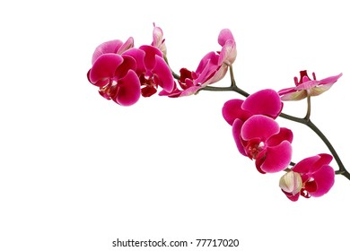 Pink orchid on a white background, isolated