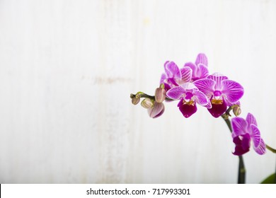 Pink orchid on a  wooden background. Beautiful indoor flowers close-up. Gift.  Beautiful indoor flowers close-up. Gift.