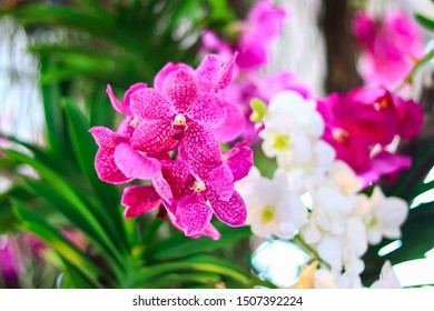 Pink orchid The petals are large and have spots on the petals. The Thai name is Fah Mui. Scientific name Vanda Colerula Griffin, former Lindle in the orchid family,