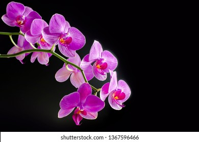 Pink orchid phalaenopsis on black background. Branch of orchid. Bouquet