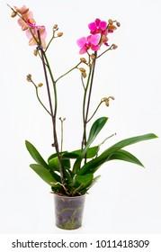 Pink Orchid at Pot