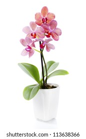 Pink orchid in a white flowerpot on white background