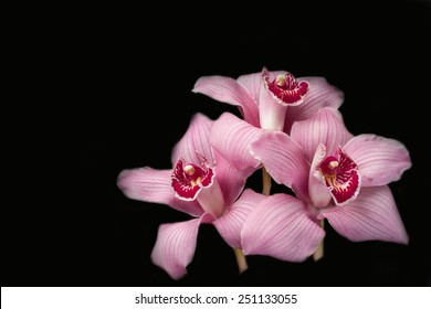 Pink orchids - black background