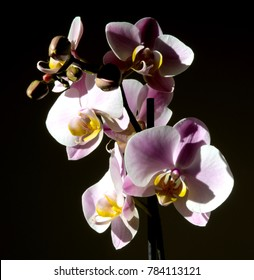 Pink orchids with black background
