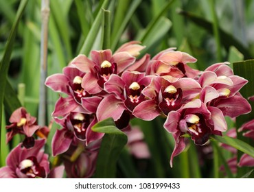 Pink Orchids Blooming