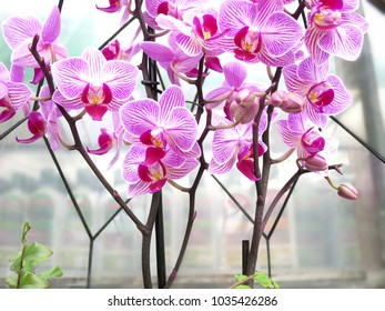 Pink orchids blossom