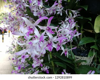 Pink Orchids blossom.