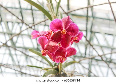 Pink orchids. Flower closeup.