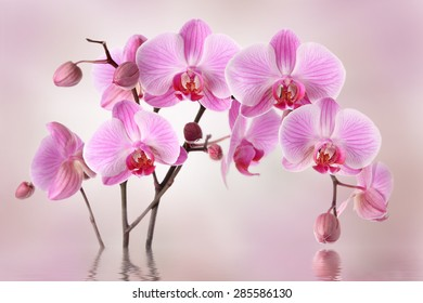 Pink orchids flowers