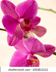 Pink orchids on the white background. Phalaenopsis orchids for women's day. Phalaenopsis cultivar flower.
