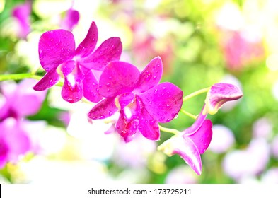 Pink orchids in Thailand