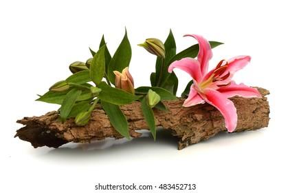 Pink Oriental Tiger Lily