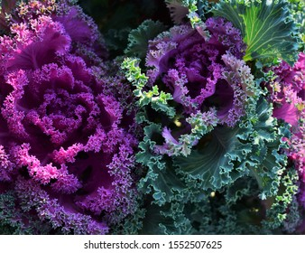 Pink ornamental cabbage autumn flowers in the garden