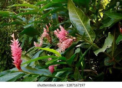 Pink ornamental ginger outside of jungle in Mayflower National Park, Belize