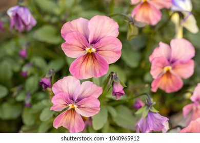 Pink pansy flowers images stock photos vectors shutterstock pink pansy flowers mightylinksfo
