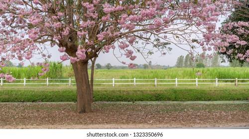 Pink Pantip Flower Kamphaeng Saen Nakhon Pathom Sakura Thailand