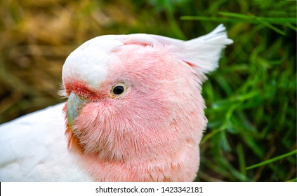 Pink parrot head close up. Lophochroa leadbeateri Cacatua. Major Mitchell's Cockatoo. Lophocroa leadbeateri