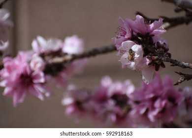 pink peach blossom cluster with honey bee