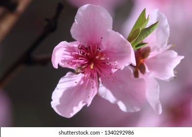 The pink peach blossom in the spring