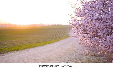 Pink peach blossom tree on a sunset.