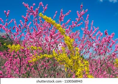 Pink peach blossom and yellow forsythia flowers. Hanamiyama park, Fukushima, Japan.
